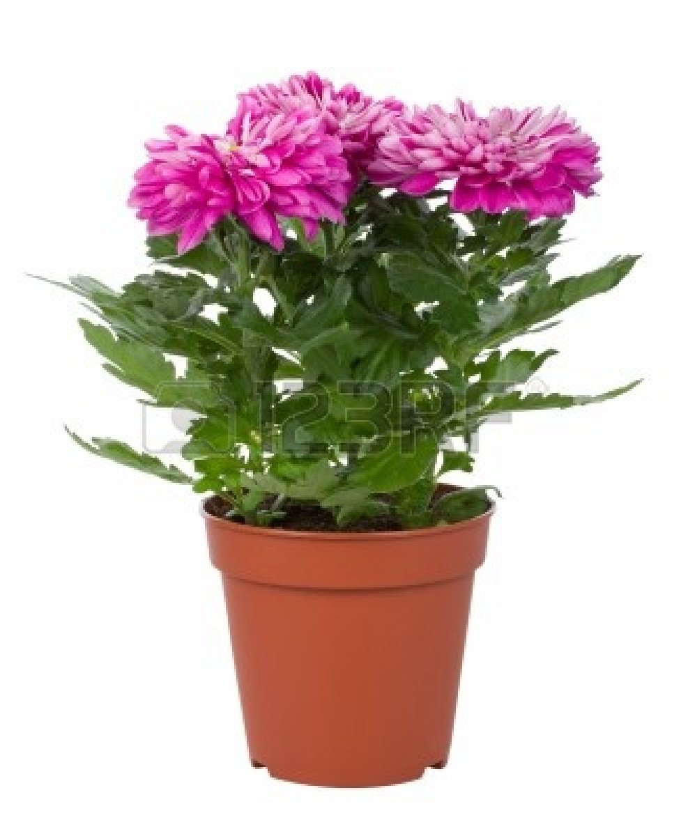 Alfa img - Showing > Potted Plant with Pink Flowers