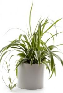 spider-plant