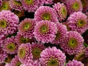 chrysanthemum-1140484_1920